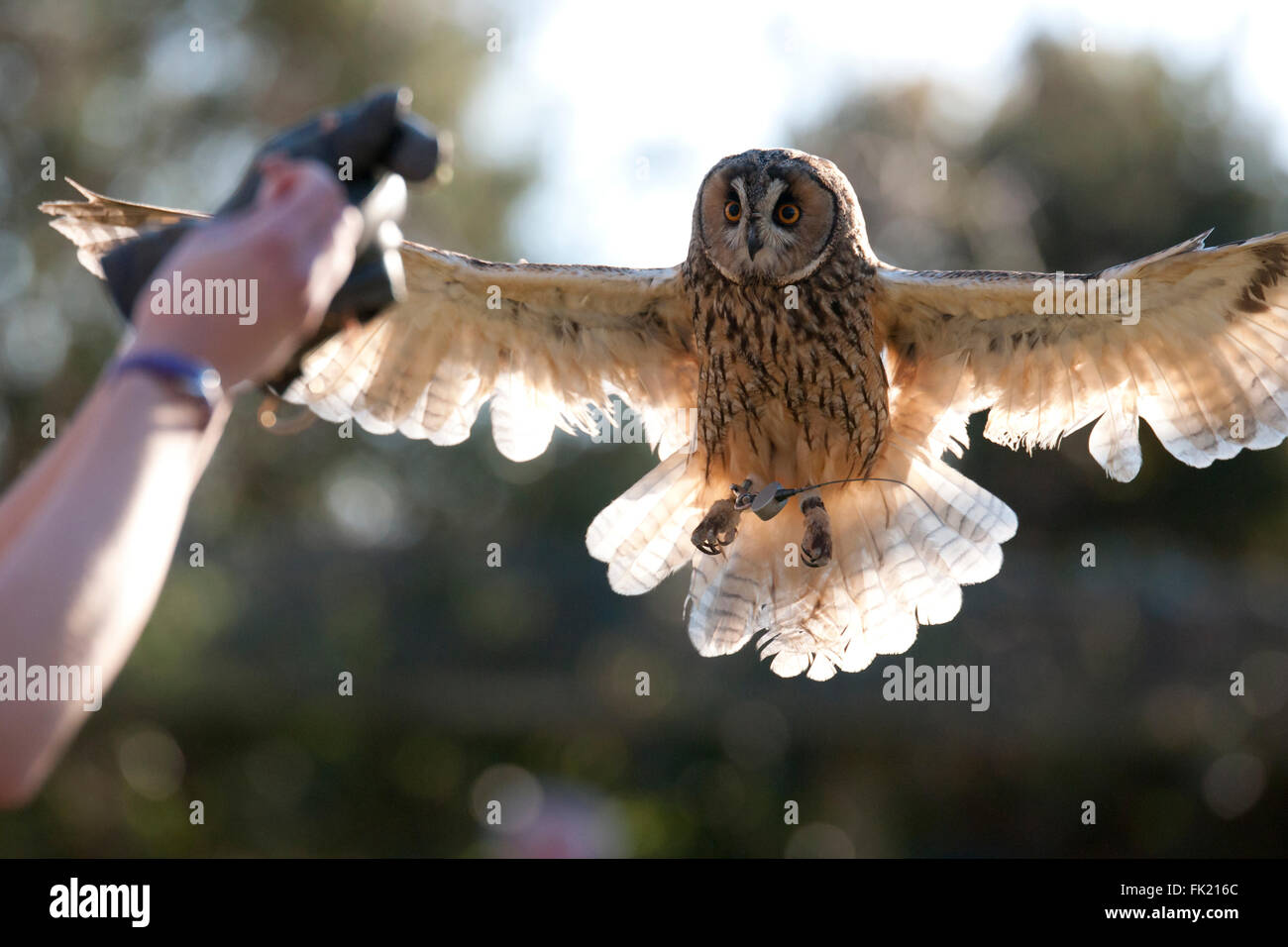 Long eared owl flying - Stock Image