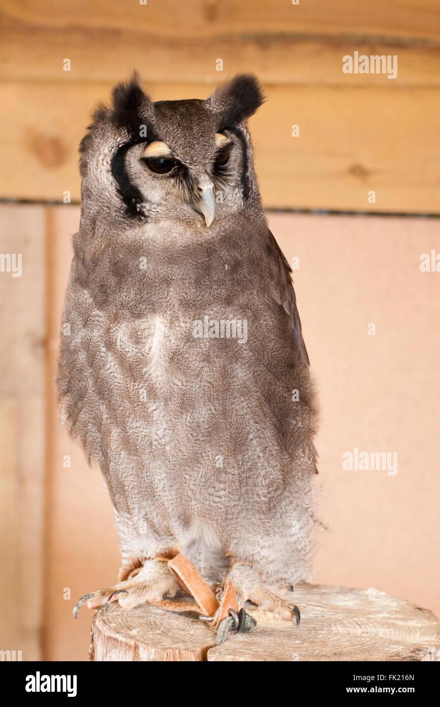 Milky eagle owl close-up portrait - Stock Image