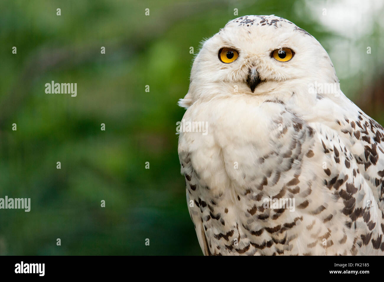 Snowy owl portrait - Stock Image