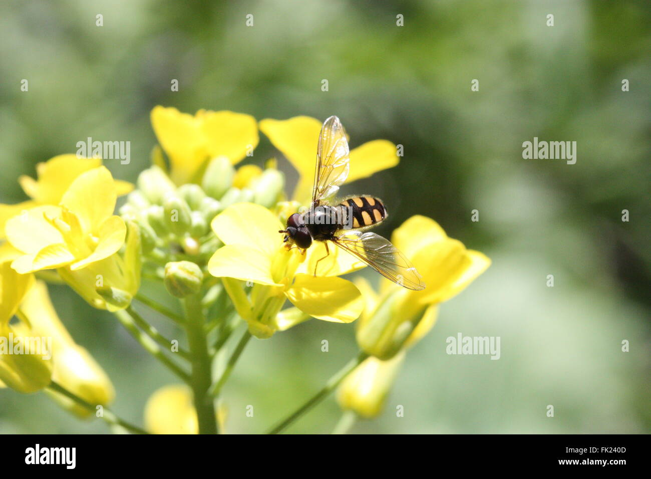 Hoverfly (a beneficial insect) on a brassica flower in a garden. - Stock Image