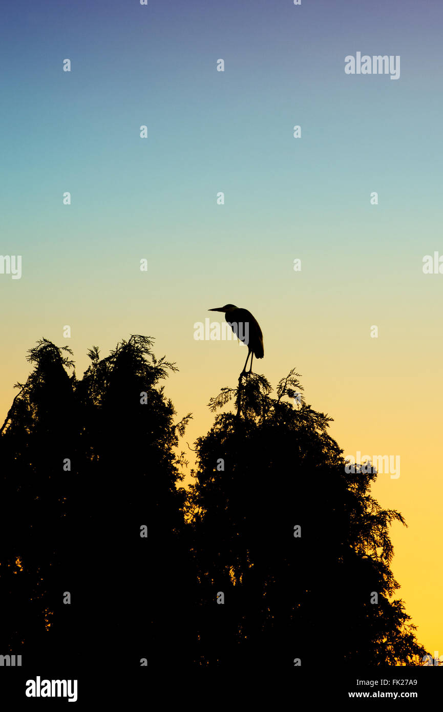 Ardea cinerea. Grey Heron standing on the top of a large fir tree at dawn. Silhouette. UK - Stock Image
