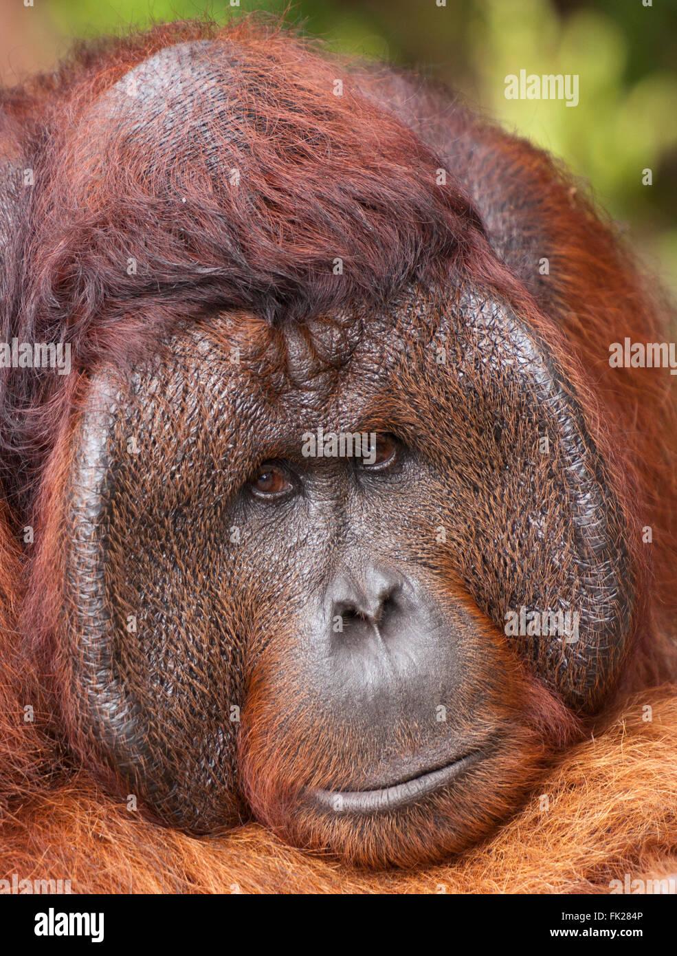 Bornean Orangutan (Pongo pygmaeus wurmbii) - Tom, king of the jungle of Camp Leakey. - Stock Image
