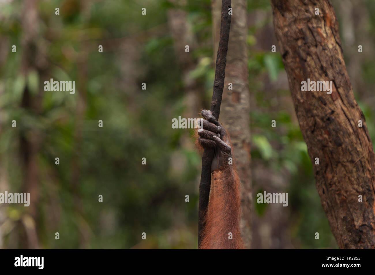 Bornean Orangutan (Pongo pygmaeus wurmbii) - hand - Stock Image