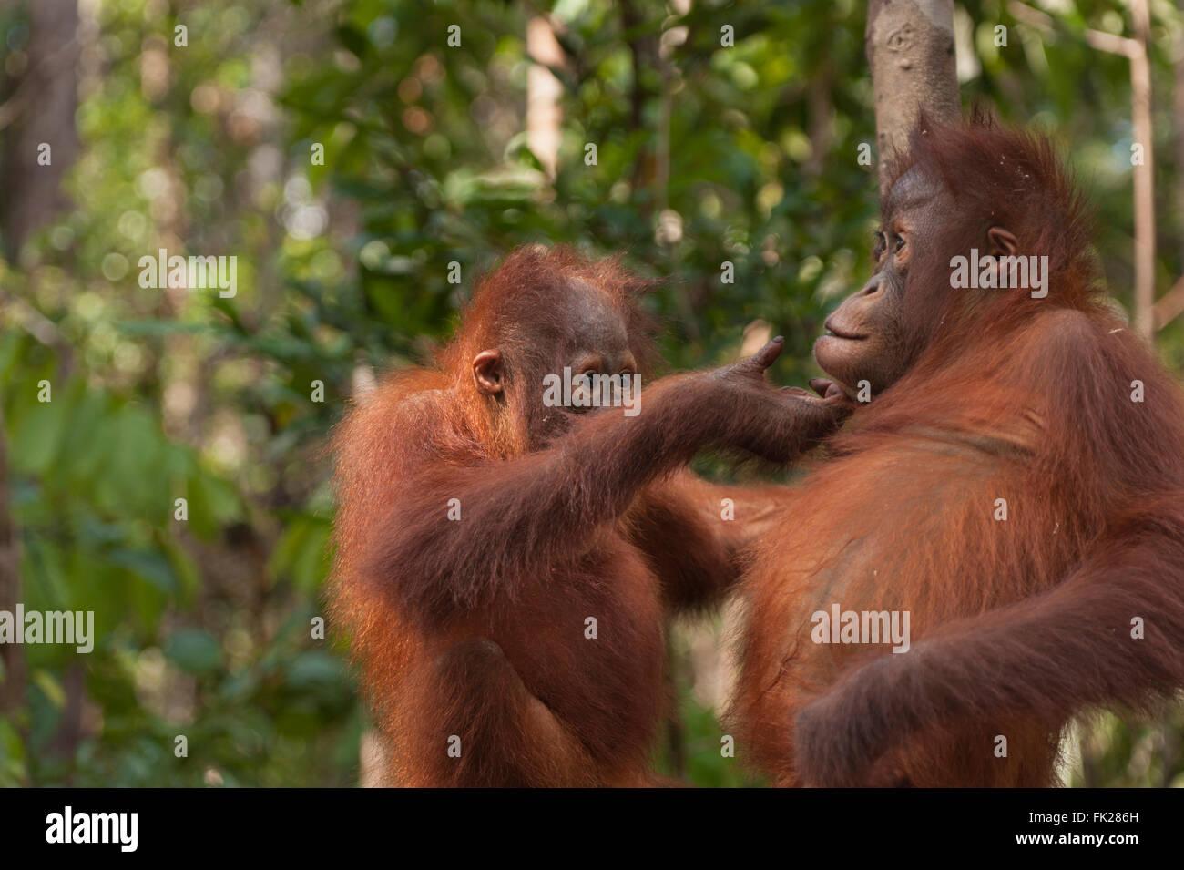 Bornean Orangutan (Pongo pygmaeus wurmbii) - juveniles - Stock Image