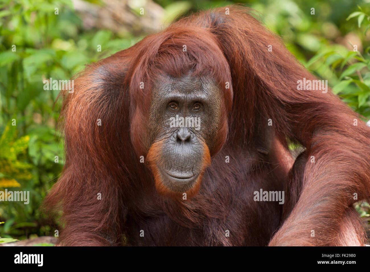Bornean Orangutan (Pongo pygmaeus wurmbii) - mother named Tut-Tut. - Stock Image