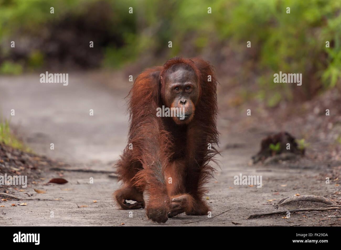 Bornean Orangutan (Pongo pygmaeus wurmbii) - juvenile. - Stock Image
