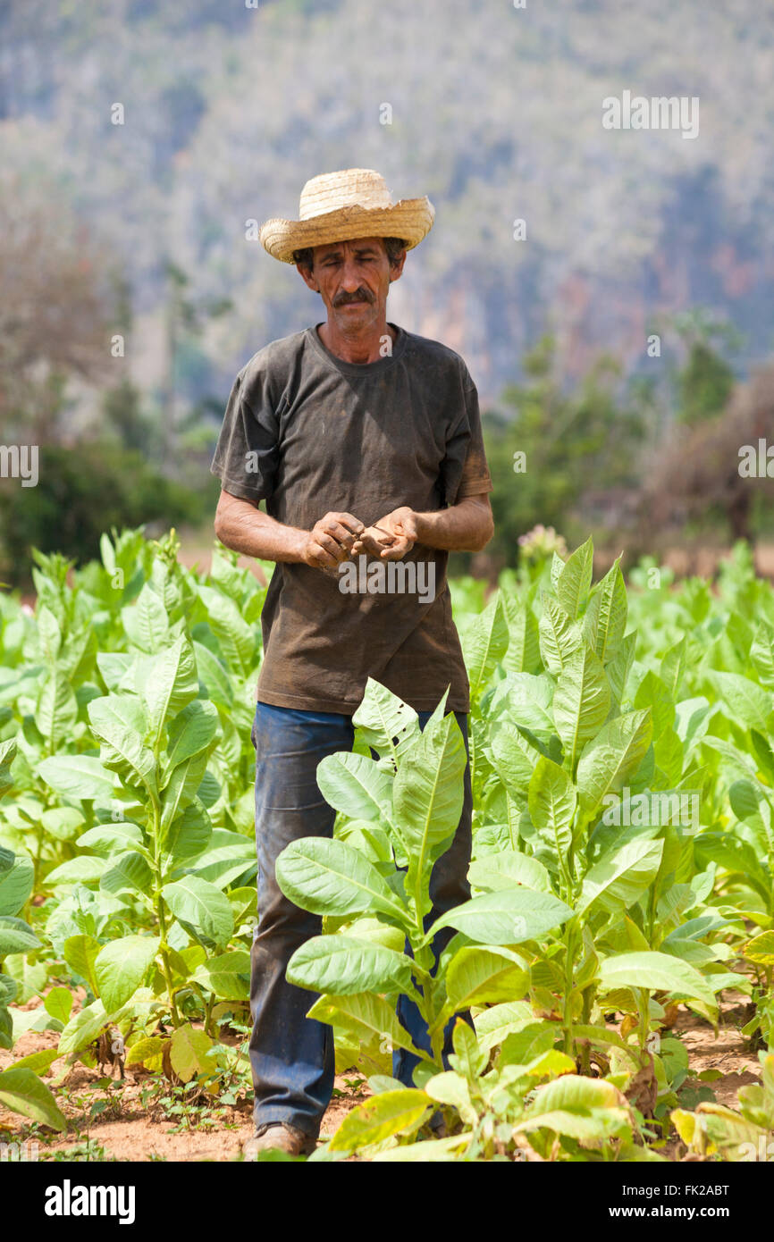Daily life in Cuba - tobacco plantation worker sharpening knife on stone to cut leaves at Vinales, Pinar del Rio - Stock Image