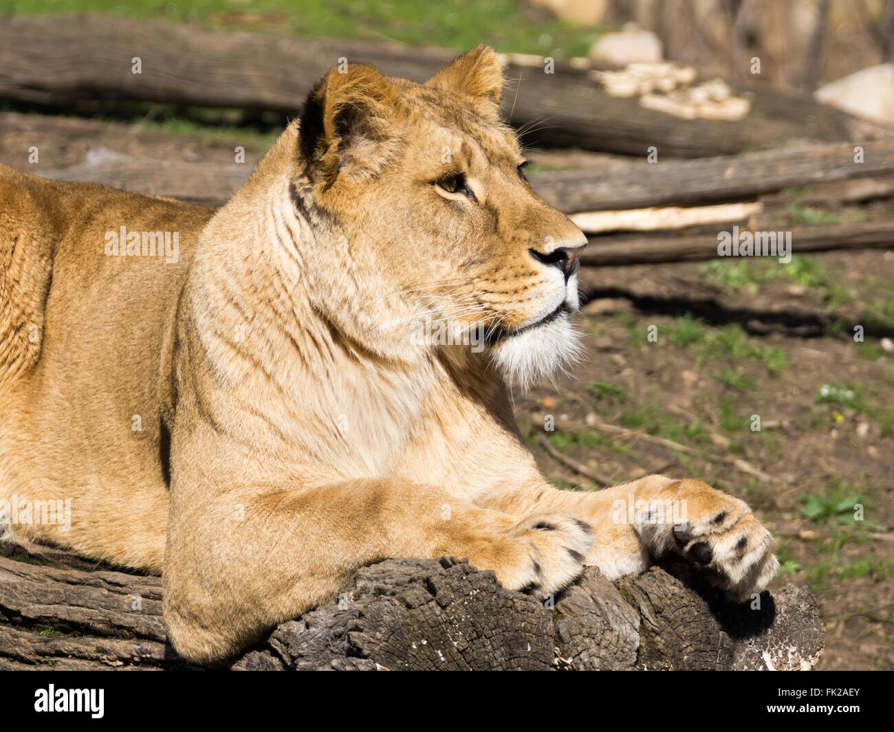 Lioness resting over fallen tree Stock Photo