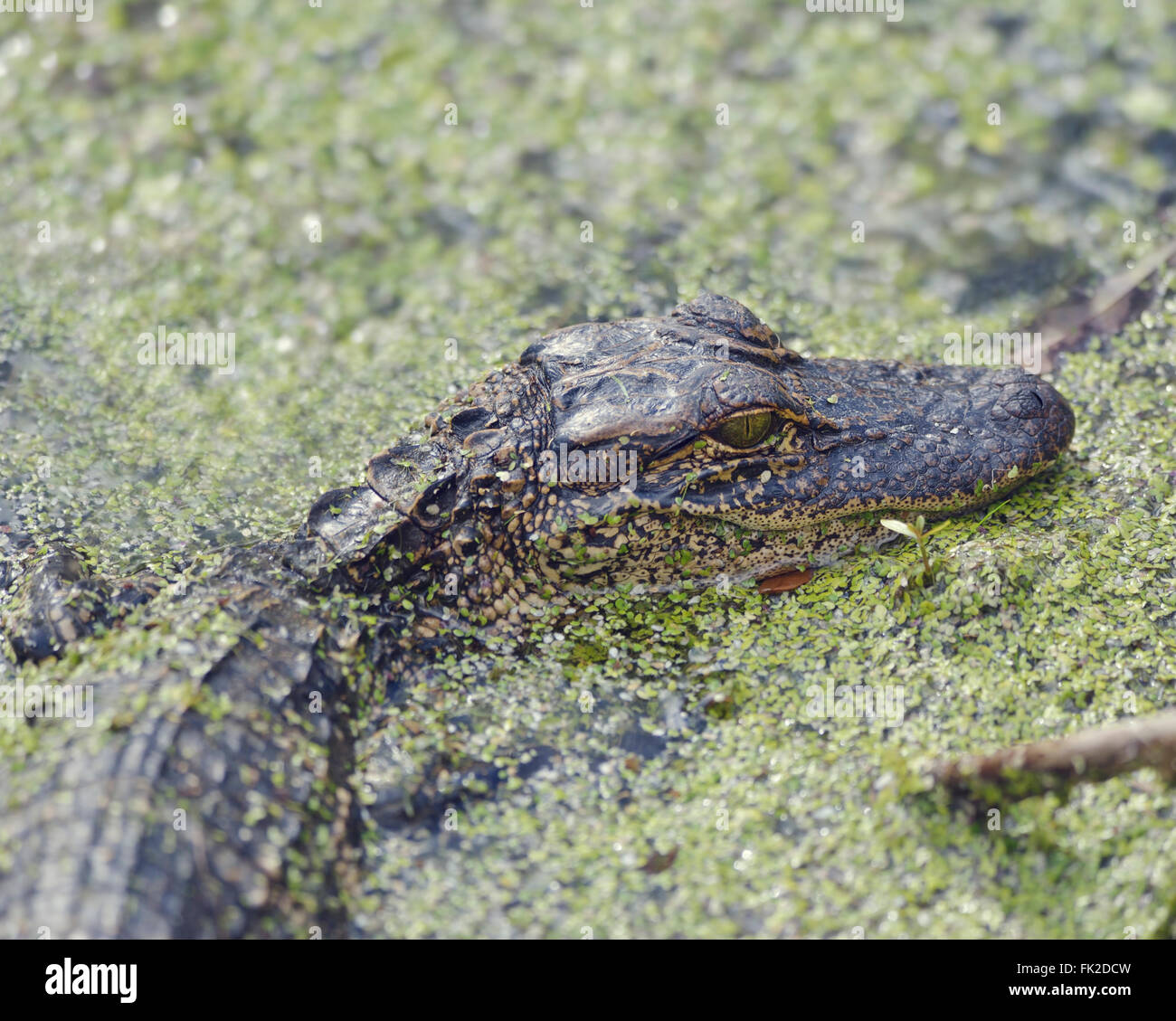Young American Alligator in Florida Wetlands - Stock Image