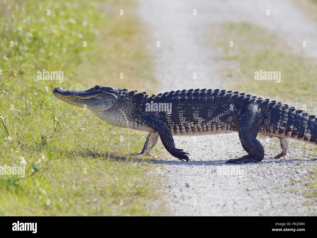 Florida Alligator Crossing the Road - Stock Image