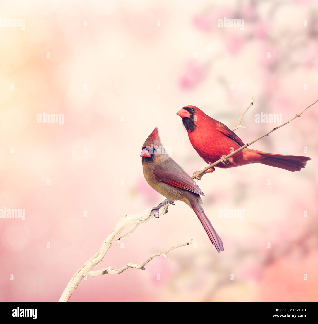 Male and Female Northern Cardinals Perching - Stock Image