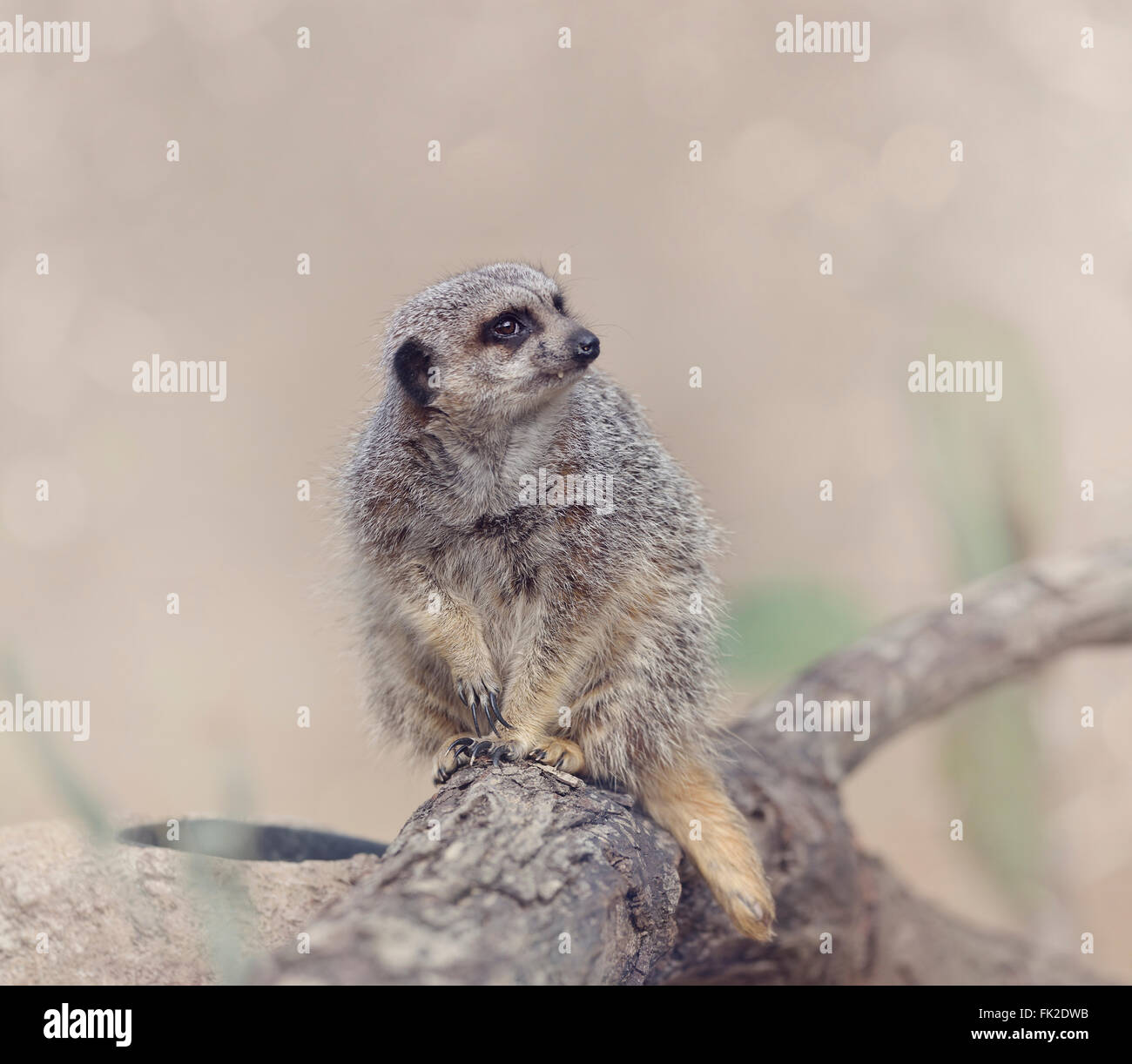 Meerkat Sitting on a Branch - Stock Image