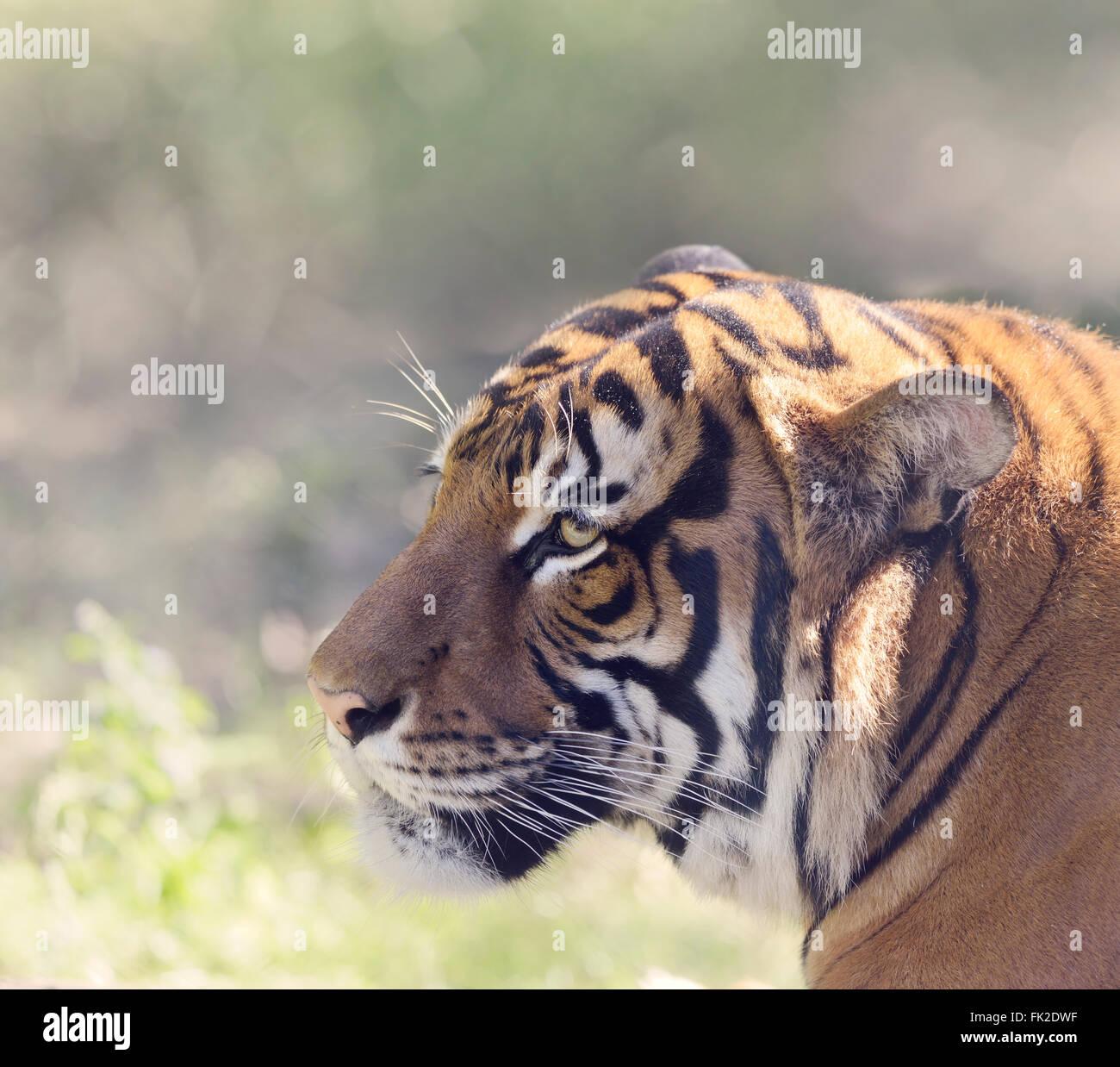 Tiger Head,Close Up Shot - Stock Image