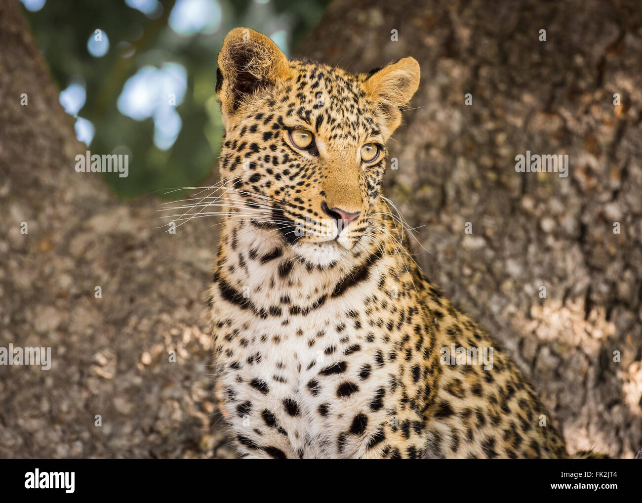 Close up of head of leopard (Panthera pardus), Zarafa Camp, Selinda Concession, Okavango Delta, northern Botswana - Stock Image