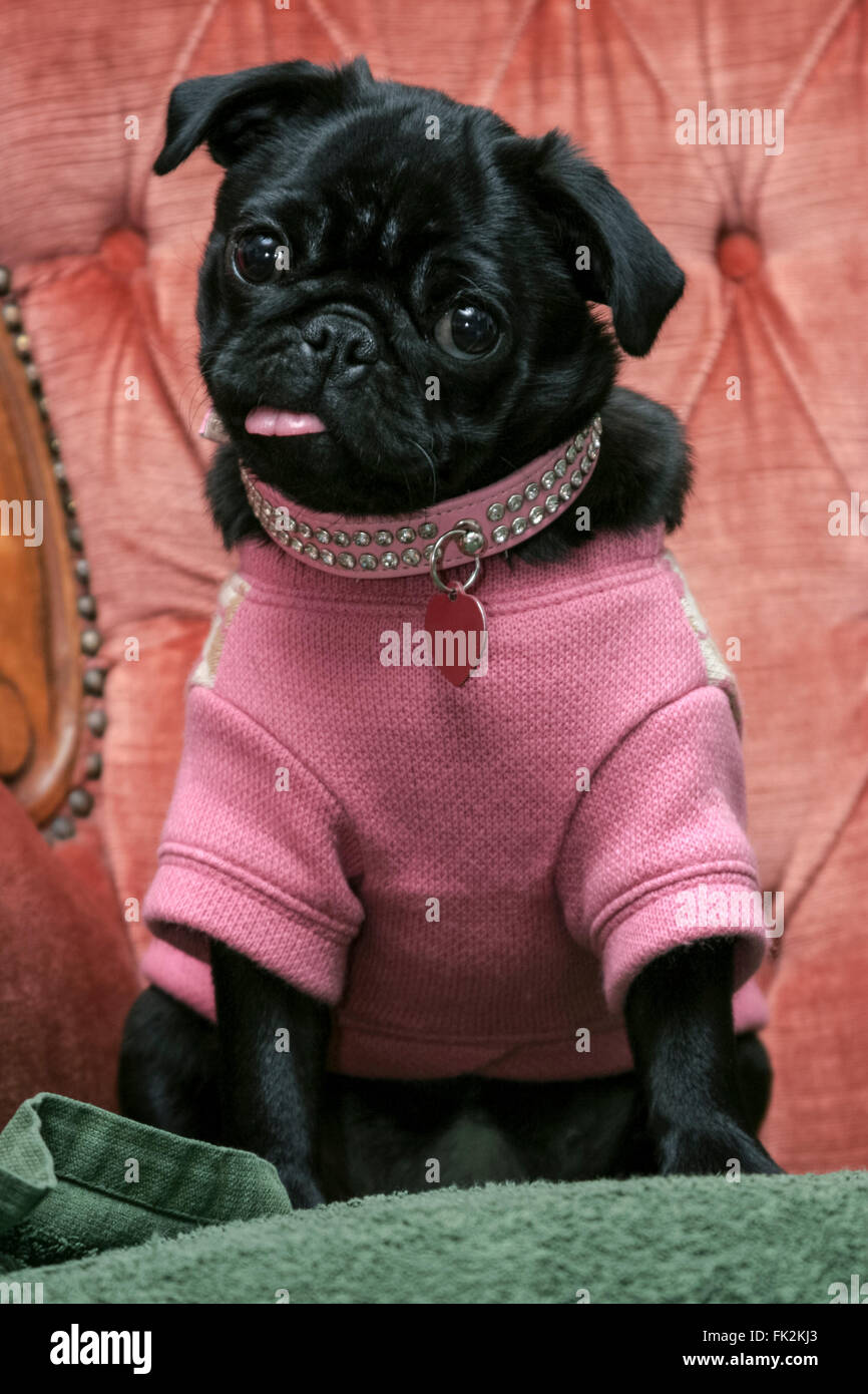 Small black pug puppy dog dressed up in pink knitted sweater jumper sticking out tongue sitting in velvet armchair Stock Photo