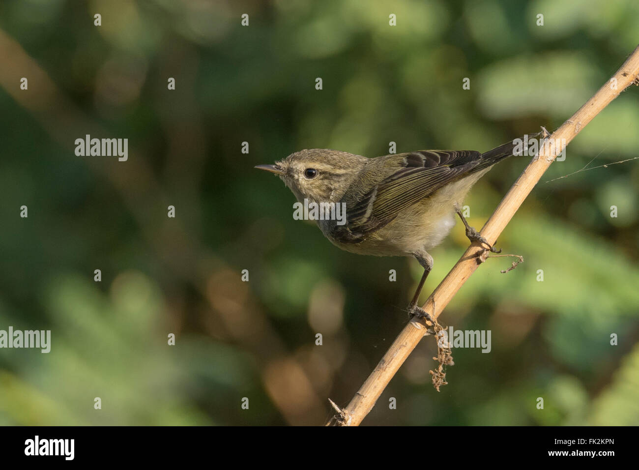 Hume's leaf warbler (Phylloscopus humei) at Thol Bird Sanctuary, Gujarat, India Stock Photo