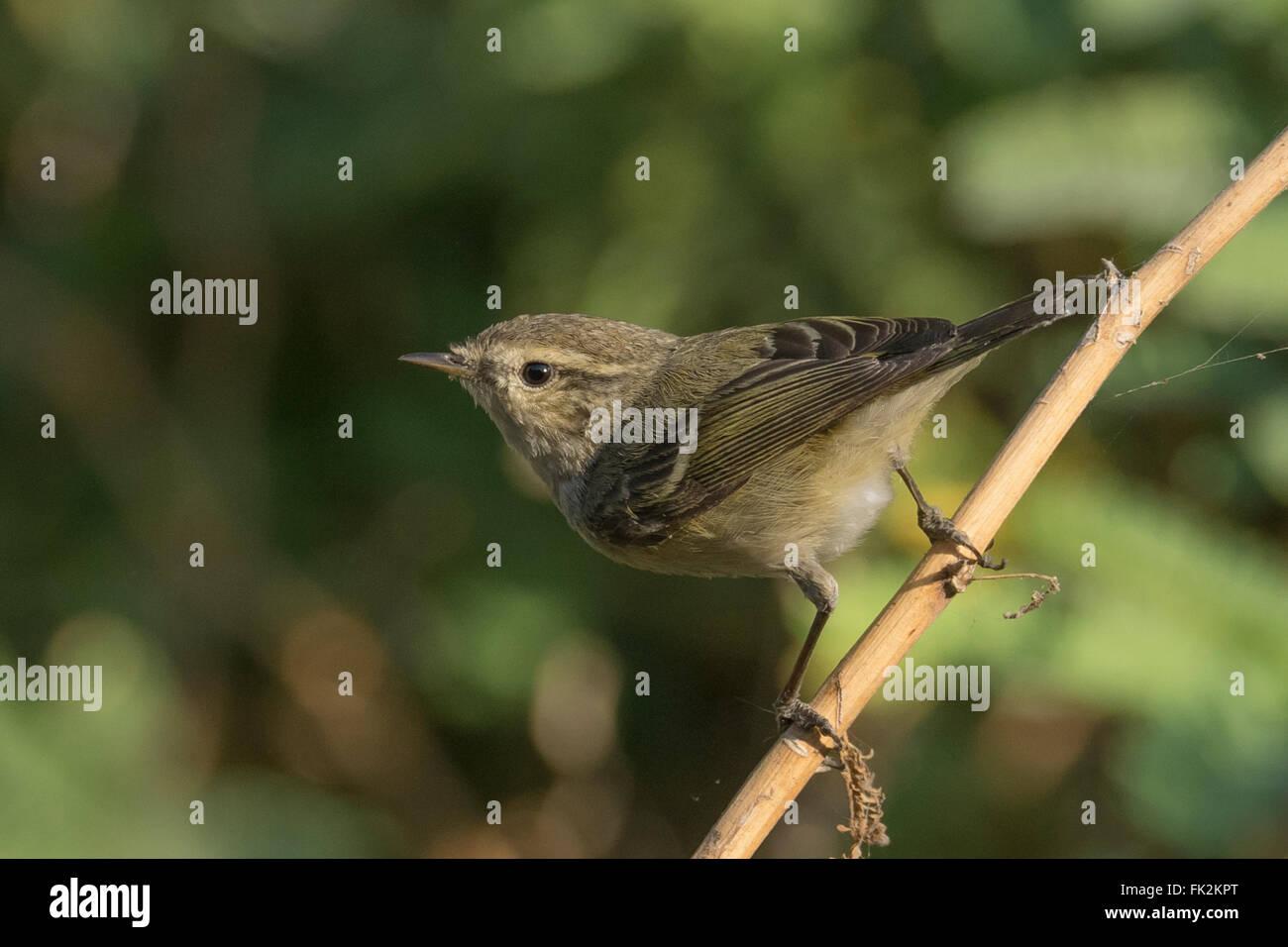 Hume's leaf warbler (Phylloscopus humei) at Thol Bird Sanctuary, Gujarat, India Stock Photo