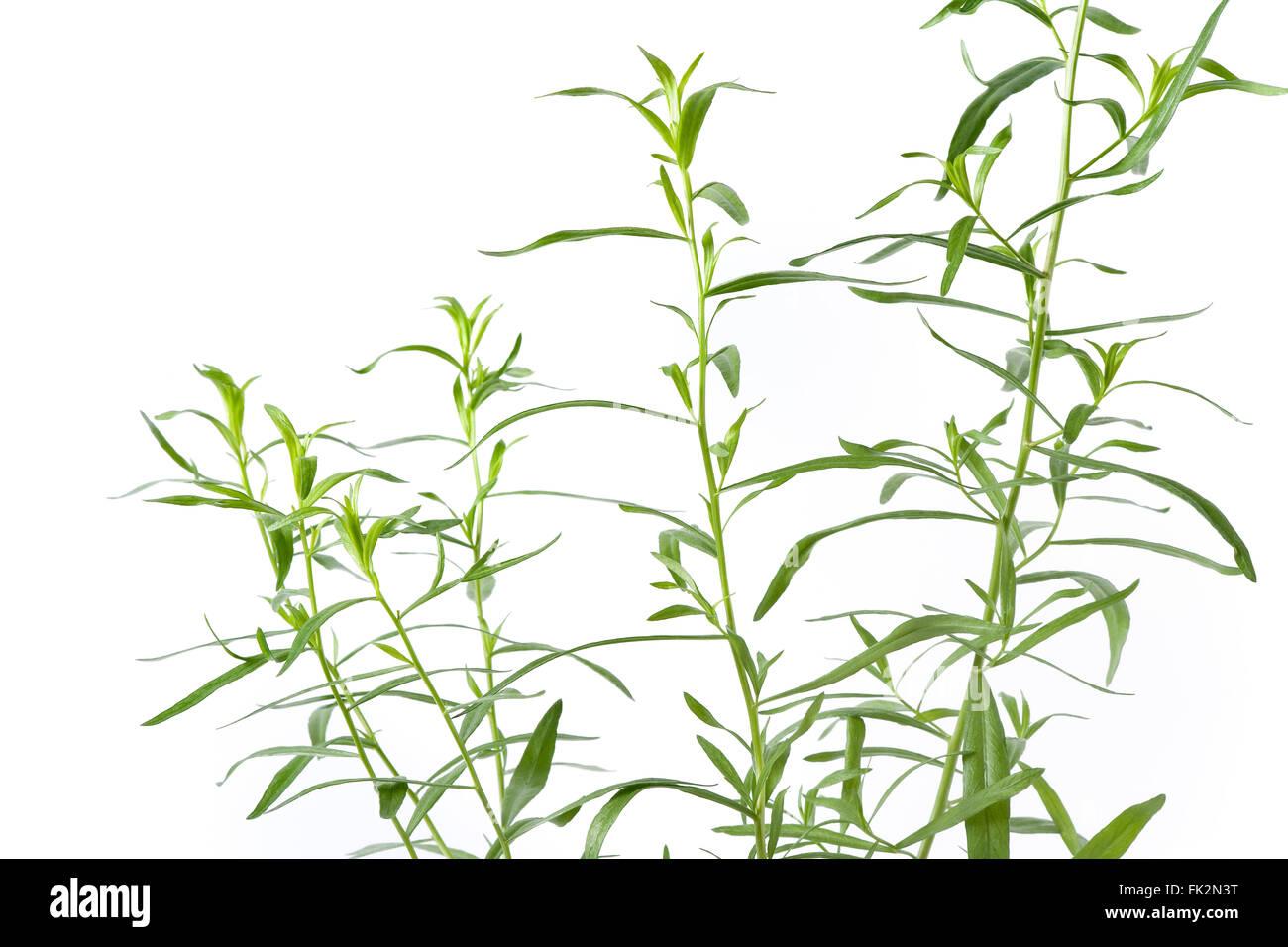 Fresh green Tarragon twigs On White Background - Stock Image