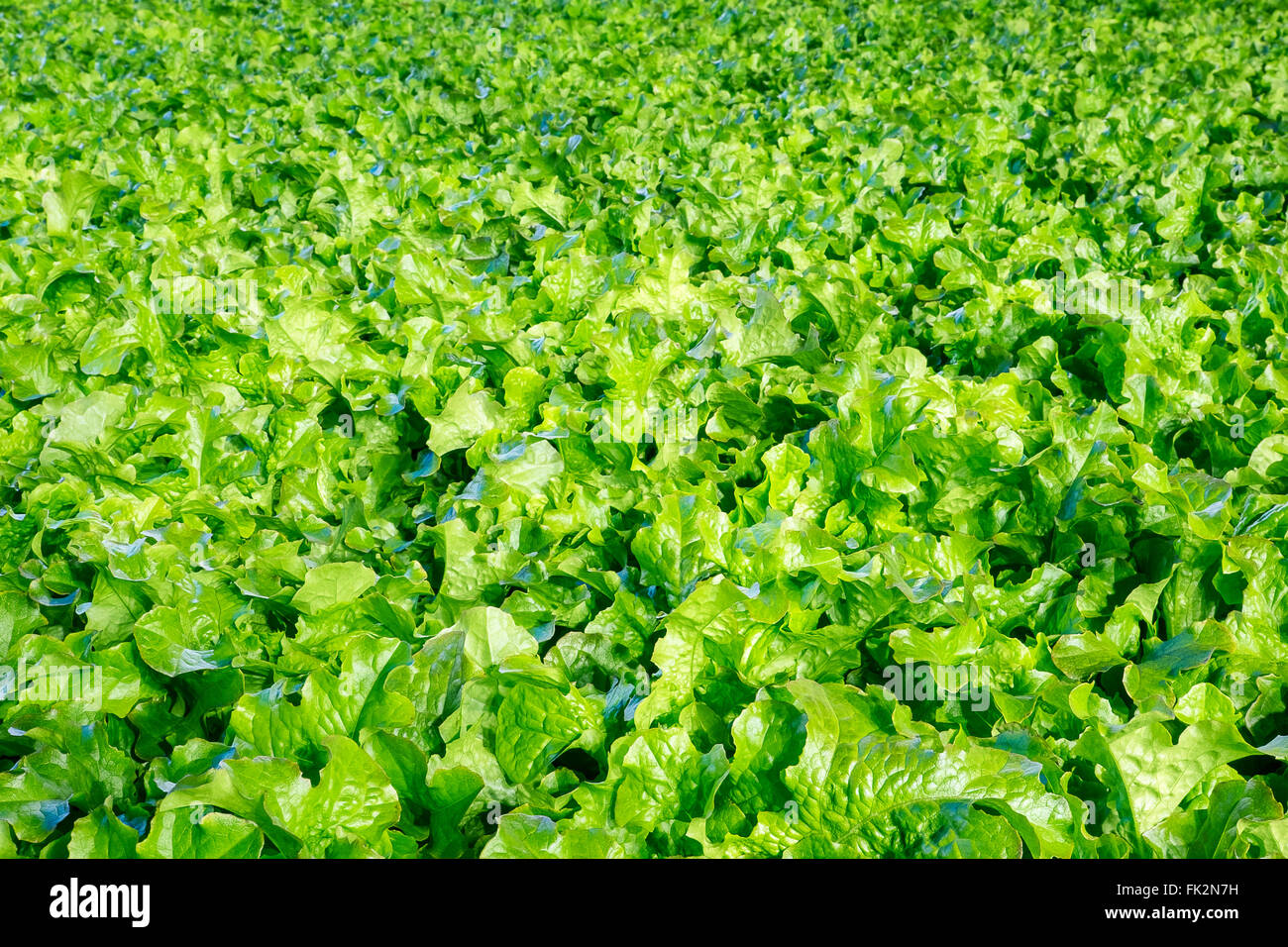 Background of fresh organic lettuce - Stock Image