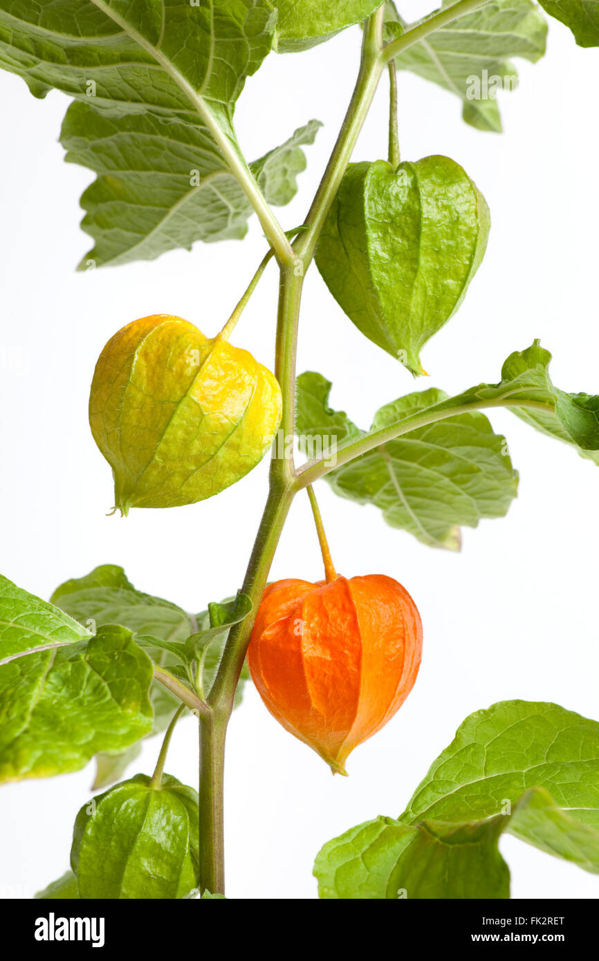 Chinese lantern plant with different color lanterns on white background - Stock Image