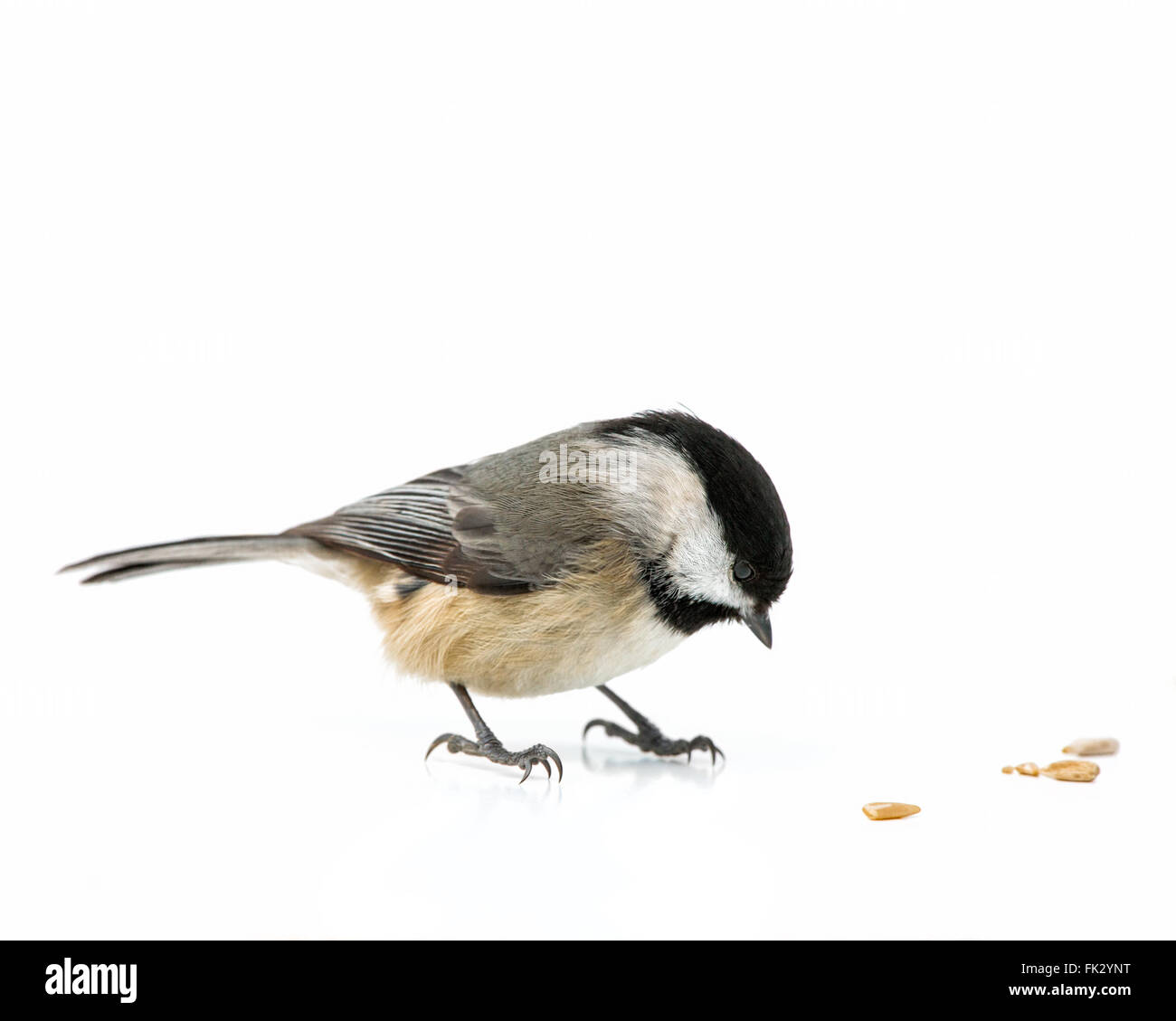 A Carolina chickadee on a white background eating pine nuts. - Stock Image