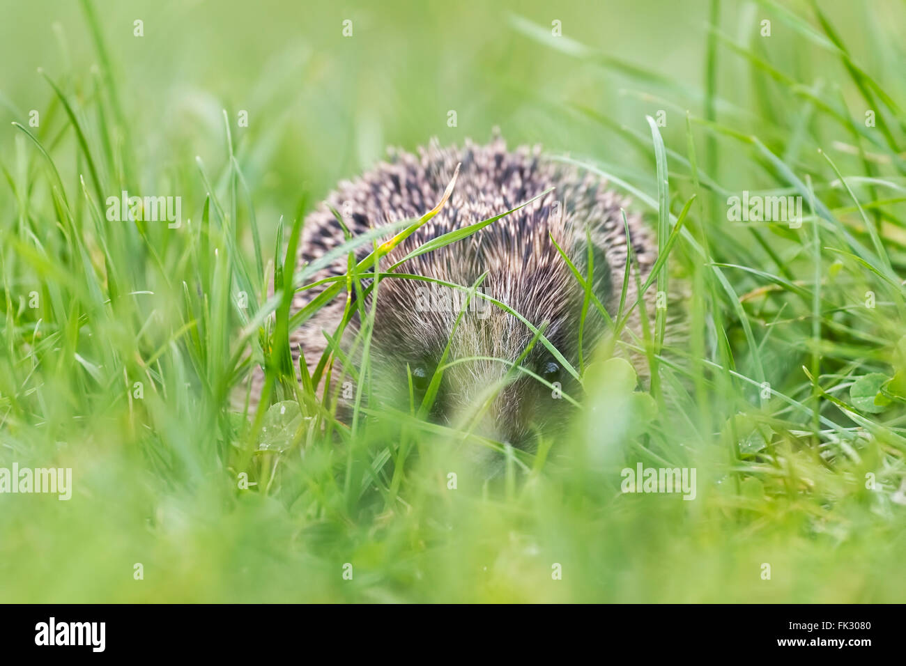 Hedgehog (Erinaceus europaeus) foraging in a meadow, lifts his nose and picks up a smell Stock Photo