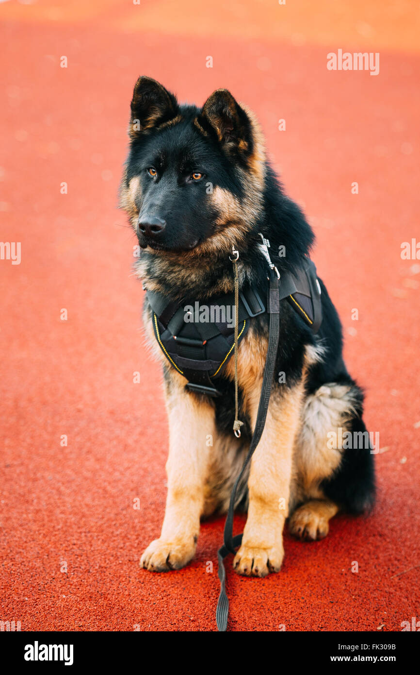 Brown and Black Colors German Shepherd Dog sitting on training. Alsatian Wolf Dog - Stock Image