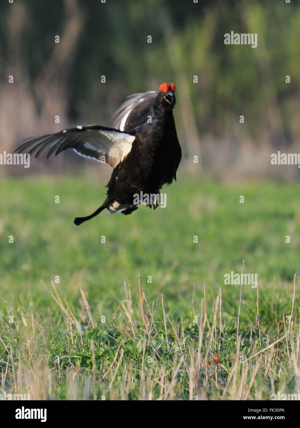 Courtship display of male Black grouse (Tetrao tetrix) early morning. Moscow region, Russia - Stock Image