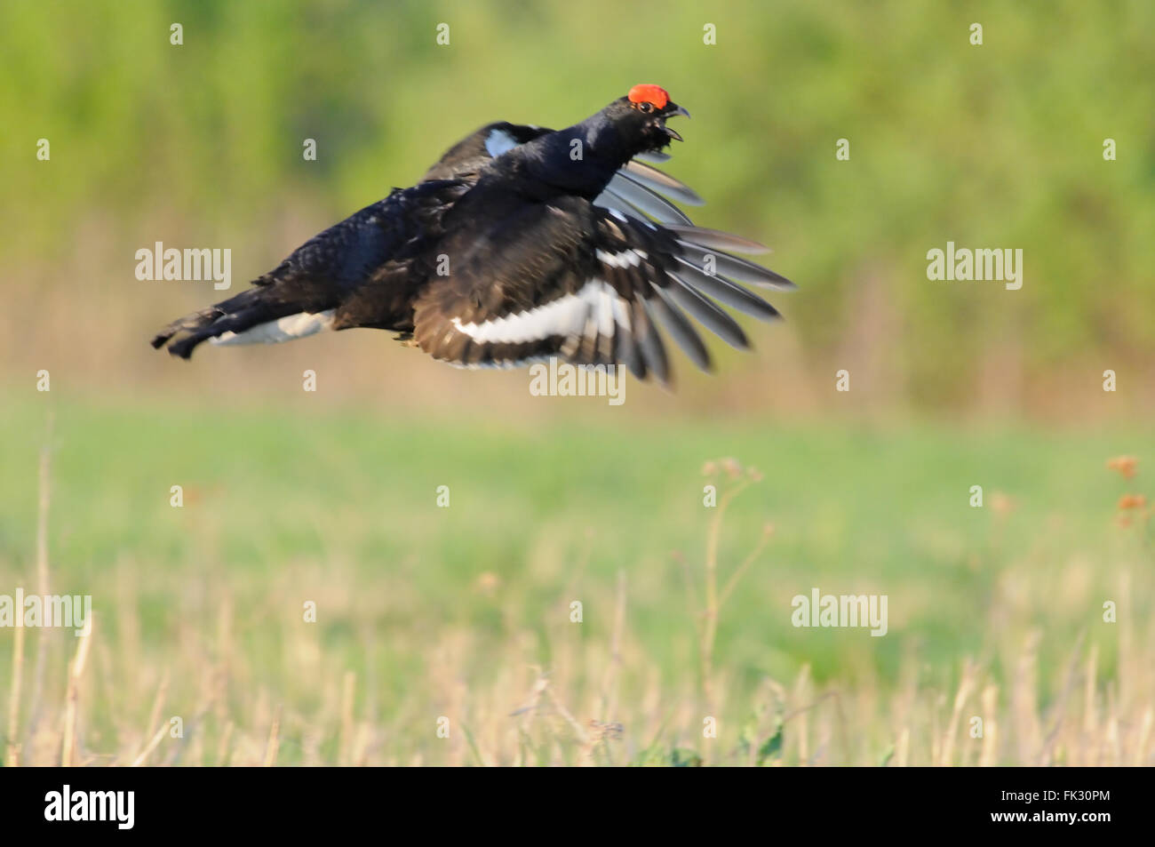 Mating call of flying male Black grouse (Tetrao tetrix) early morning. Moscow region, Russia - Stock Image