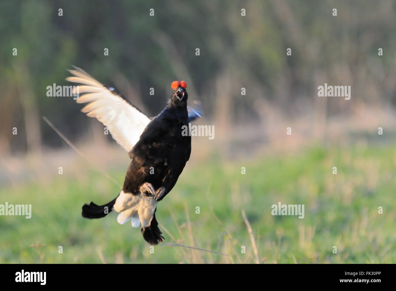 Courtship display of jumping male Black grouse (Tetrao tetrix). Moscow region, Russia - Stock Image