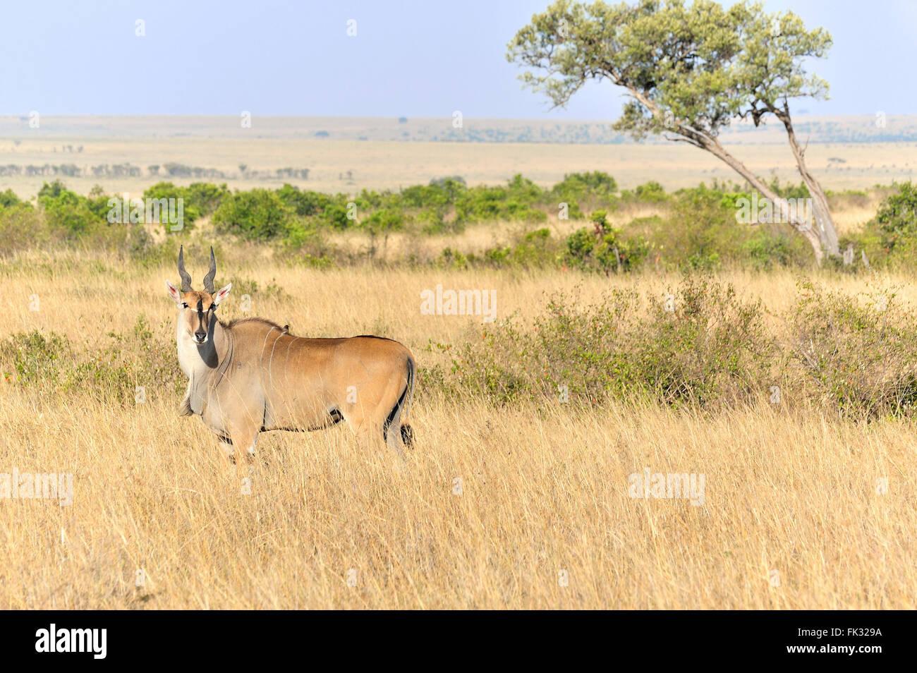 Eland Antelope, Taurotragus oryx, in Masai Mara - Stock Image