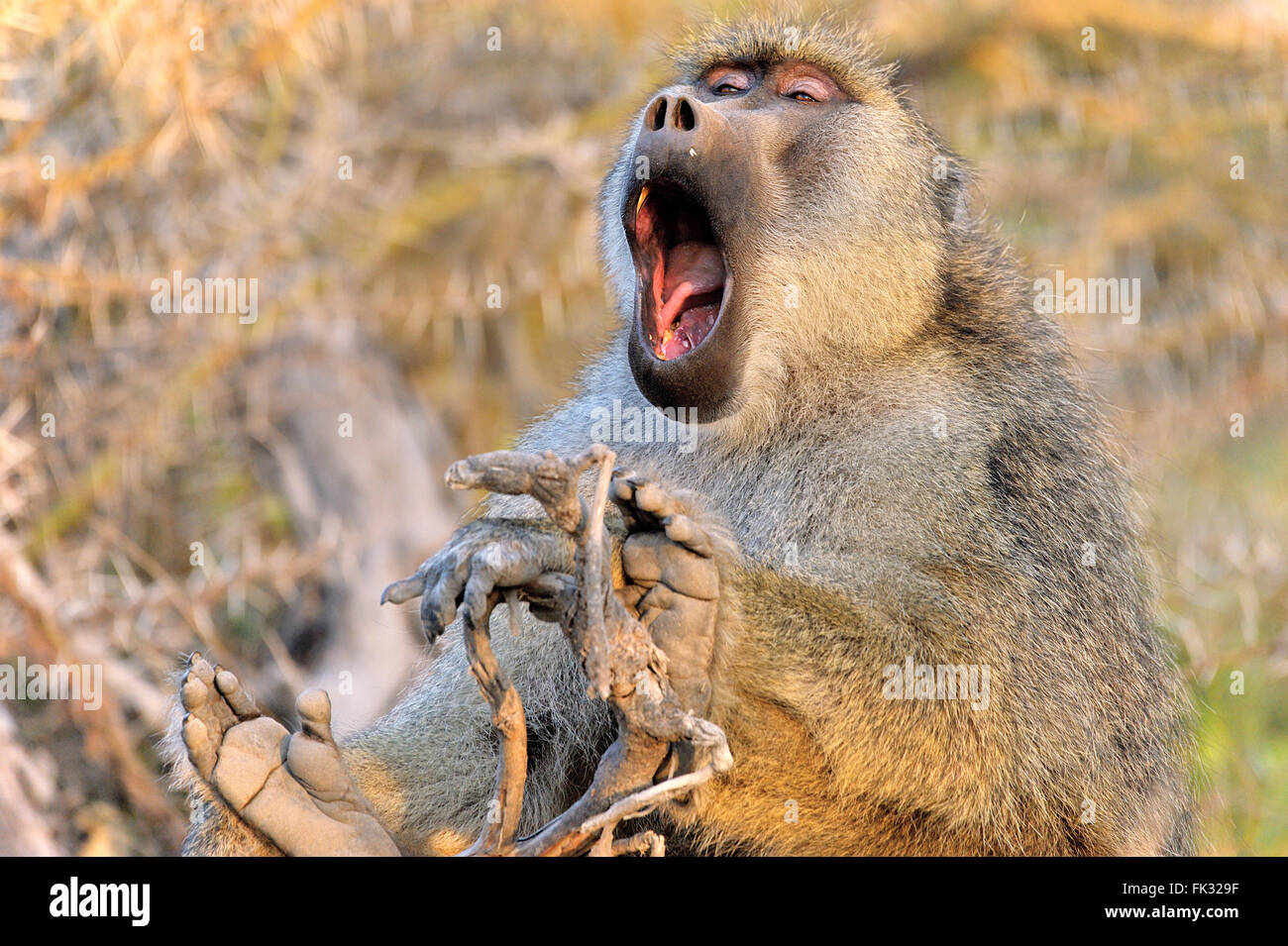 The Big Yawning of a Baboon, tiredness takes control - Stock Image