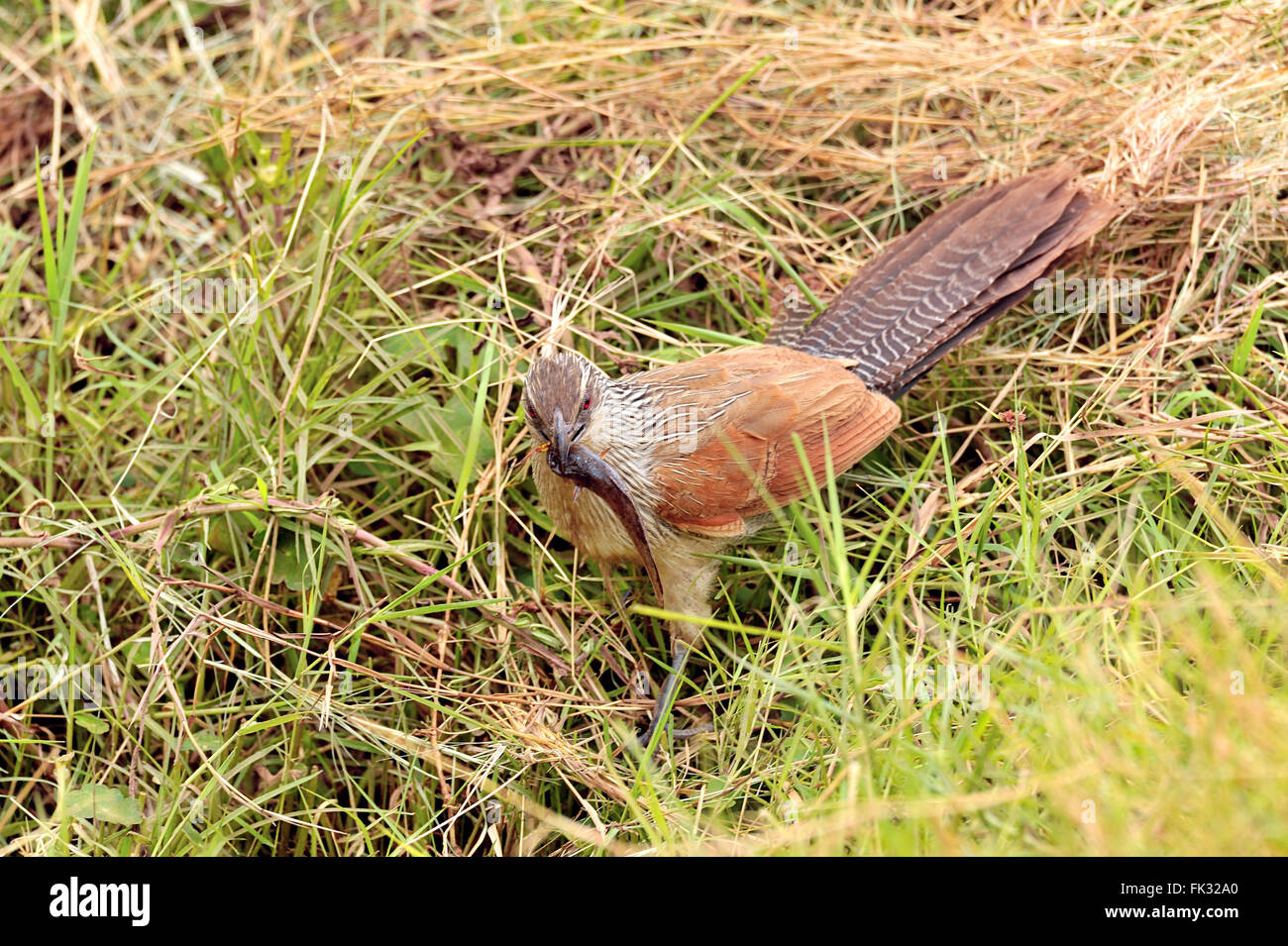 White-Browed Coucal, Centropus superciliosus, with small fish in its bill - Stock Image
