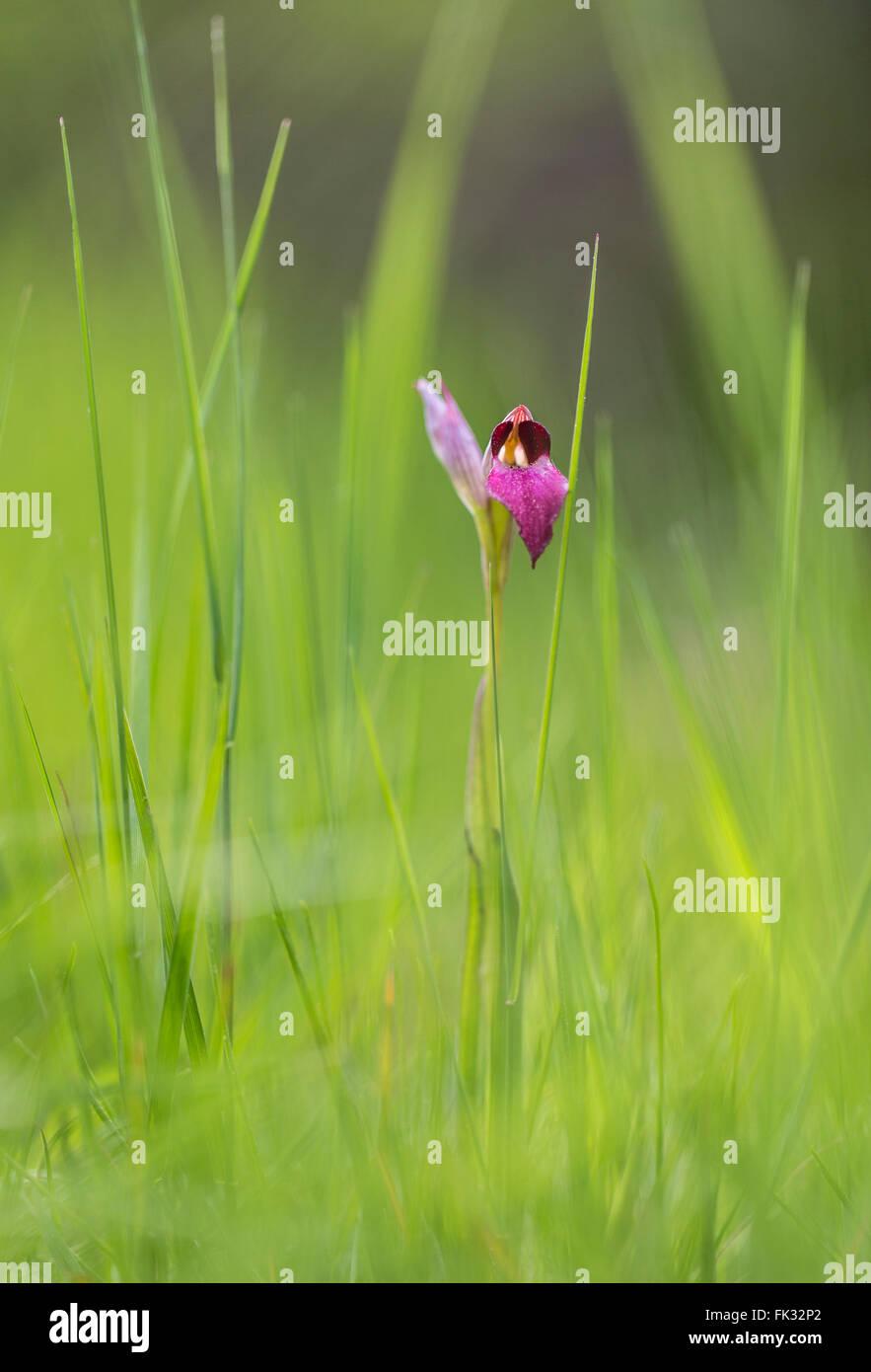 Tongue Orchid (Serapias lingua) in the grass, Trasimeno lake, Apennine Mountains, Umbria, Italy - Stock Image