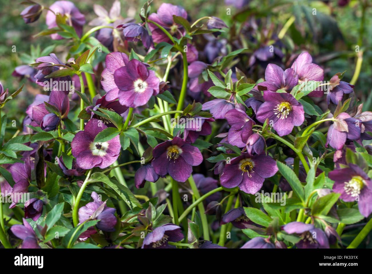 Lenten rose, Black Hellebore, Helleborus niger flower Stock Photo