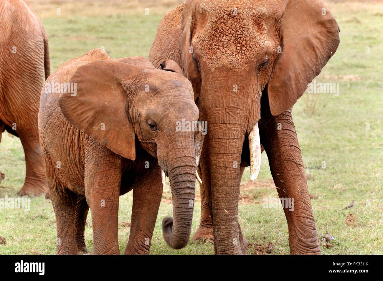 Young Elephant, Loxodonta africana, and its sister with tender feelings Stock Photo