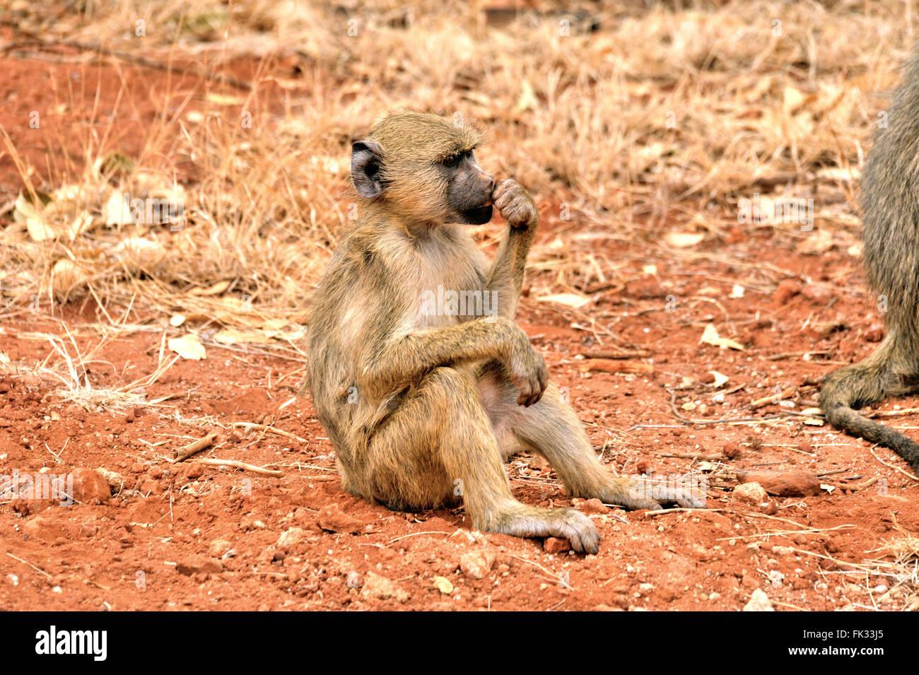 Yellow Baboon, Papio cynocephalus, looks bored and musing - Stock Image