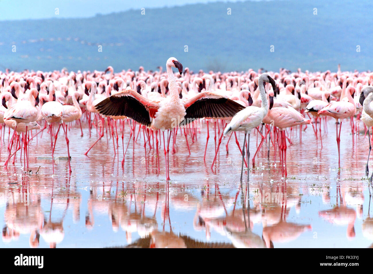 Lesser Flamingo, Phoenicopterus minor, with reflection in the water, tries to impress its beloved at Lake Bogoria - Stock Image