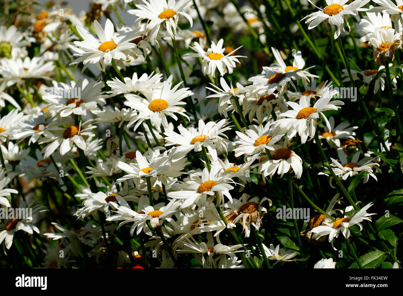 Shasta daisies have white petals with a bright yellow centre long shasta daisies have white petals with a bright yellow centre long stems they are a common feature in british gardens mightylinksfo