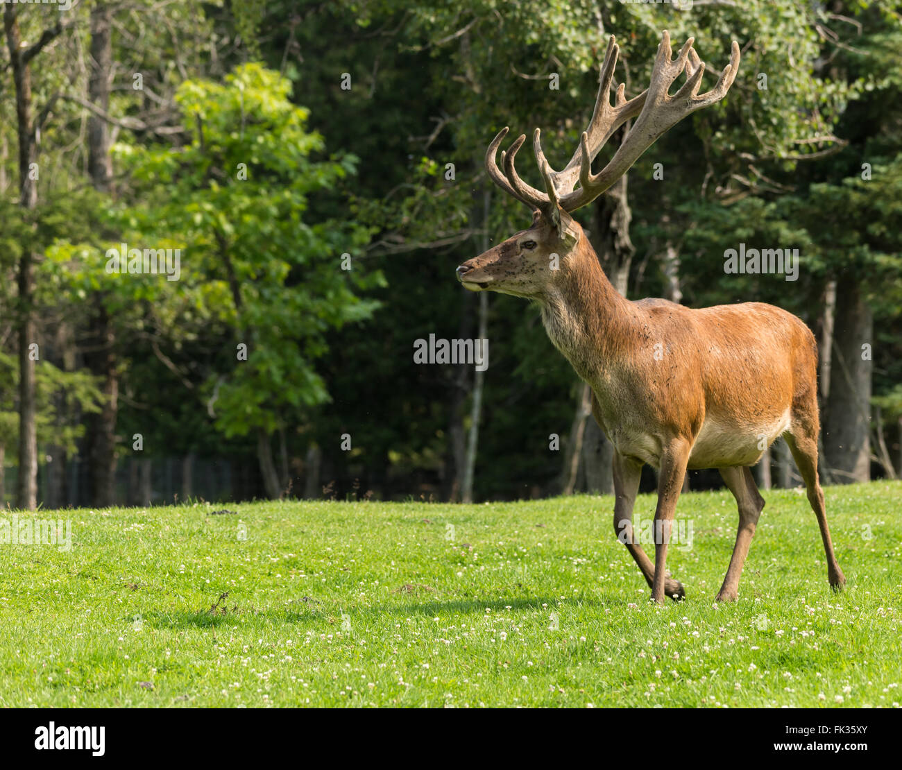 Red deer in nature - Stock Image