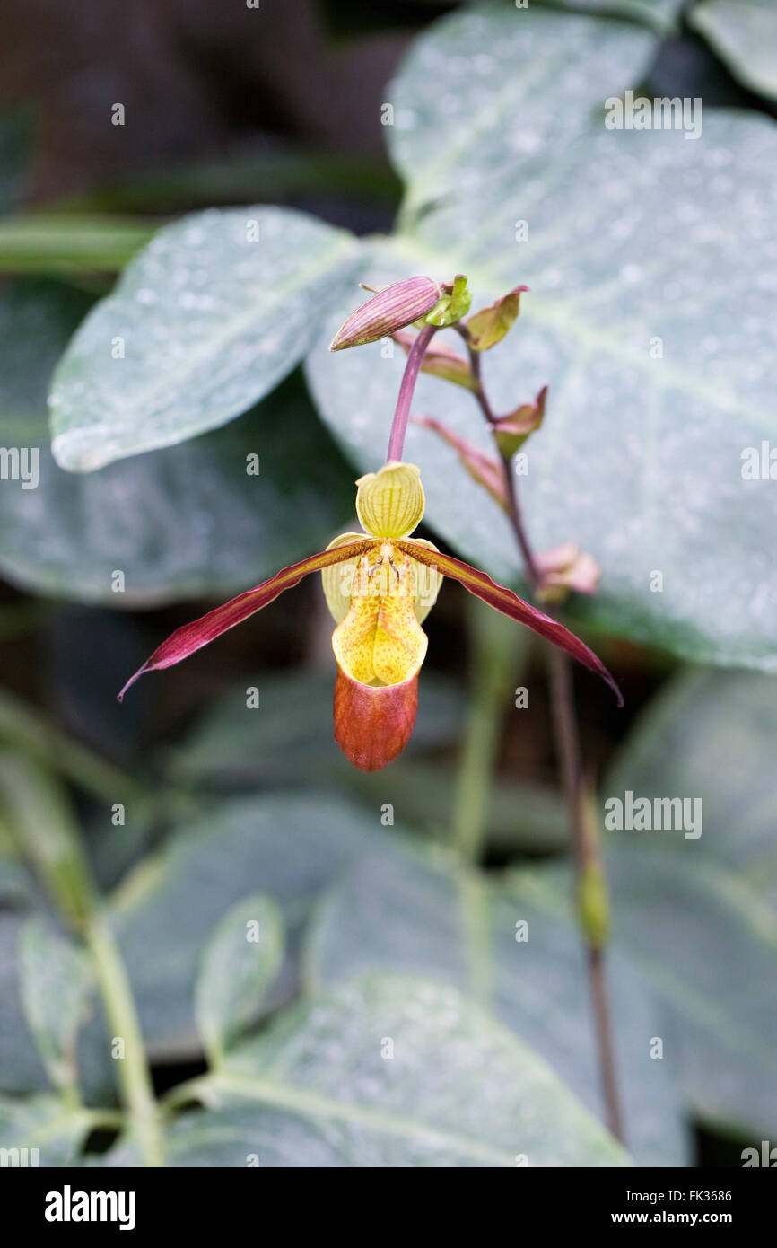 Phragmipedium 'Sorcerers Apprentice'. Orchid in a glasshouse. - Stock Image
