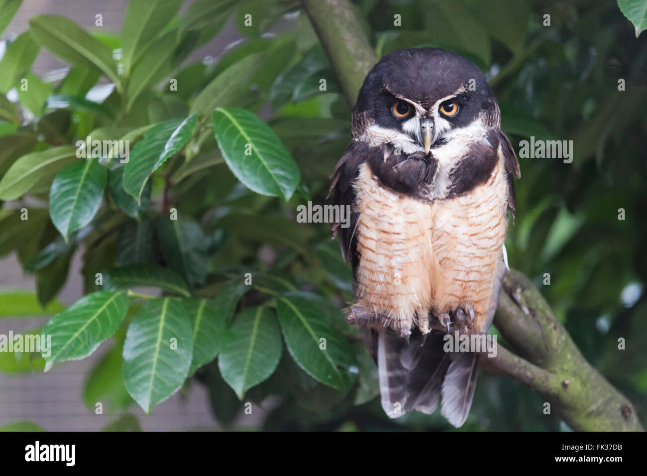 Spectacled owl portrait - Stock Image