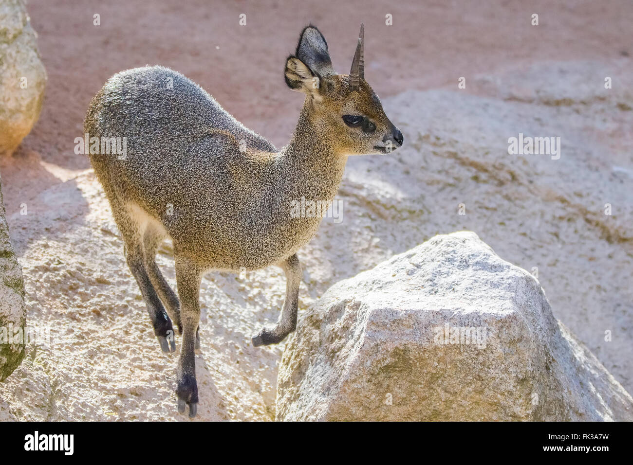 Dik-dik (Madoqua kirkii) is a smallest antelope - Stock Image