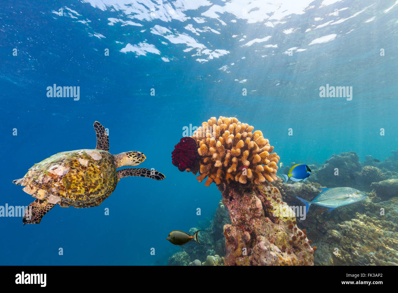 Coral reef with turtle - Stock Image