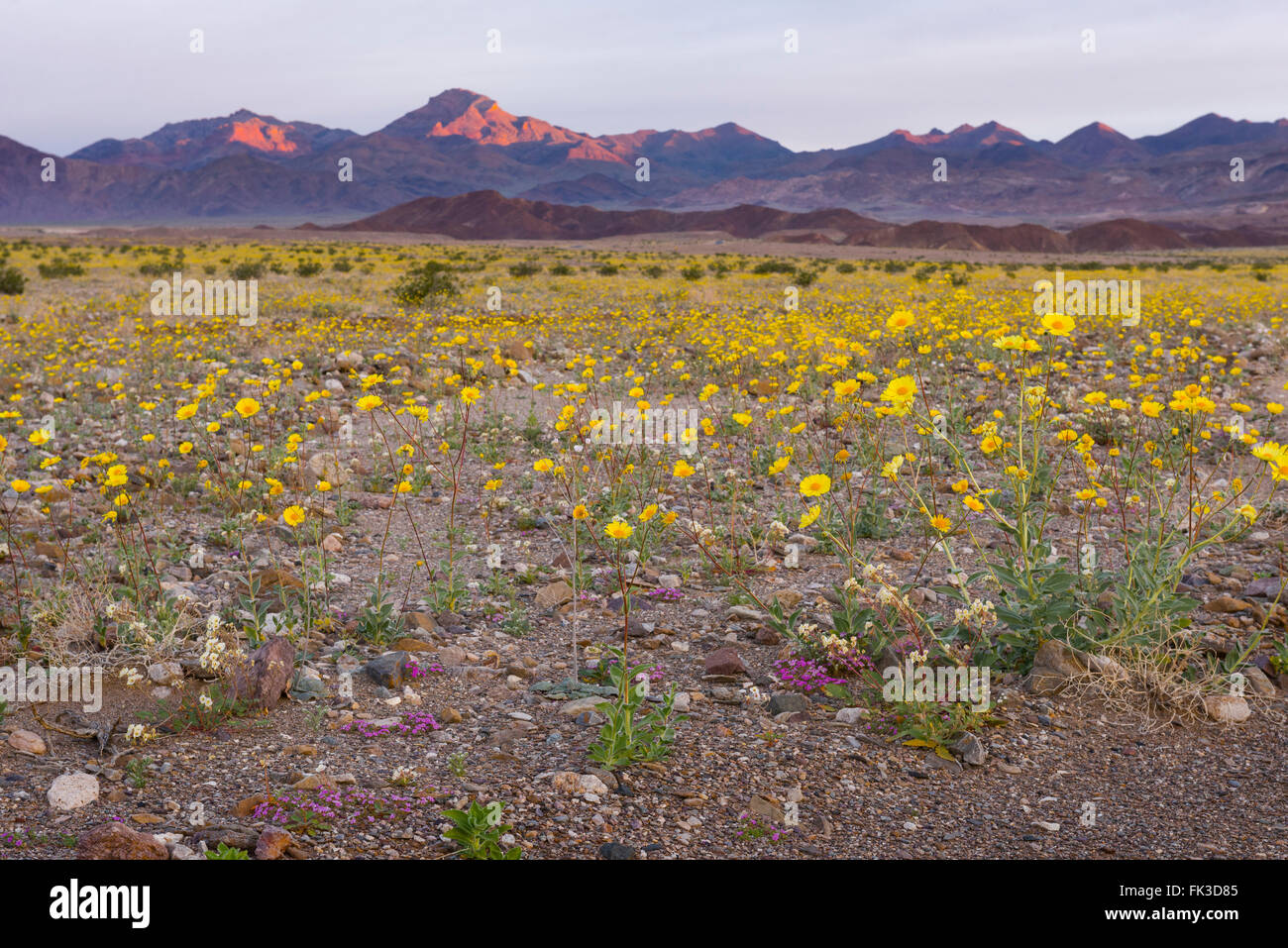 The wildflower covered roads and valley floor in Death Valley National Park during the 2016 super bloom event. - Stock Image