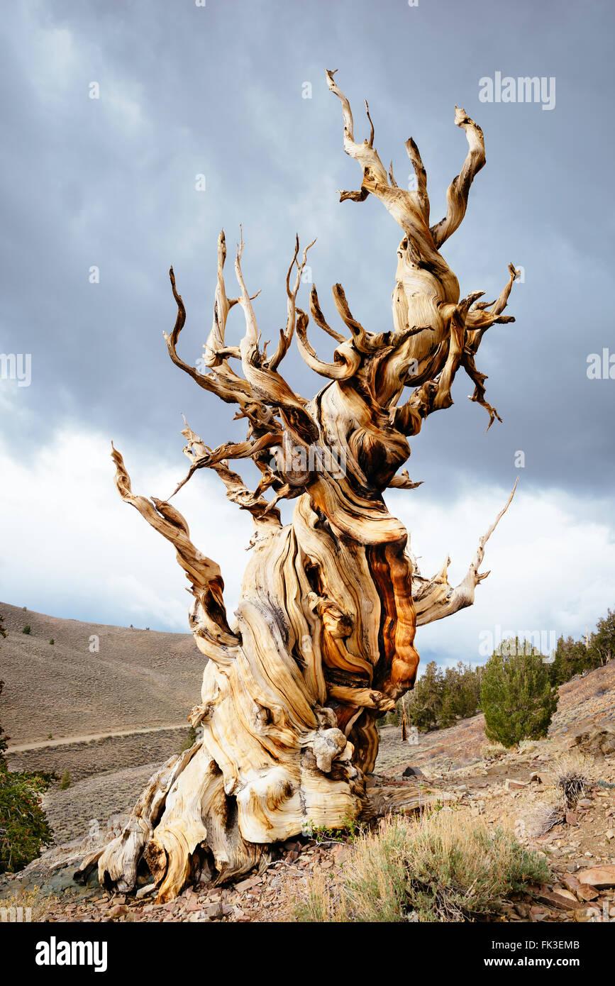 bristlecone pine tree information
