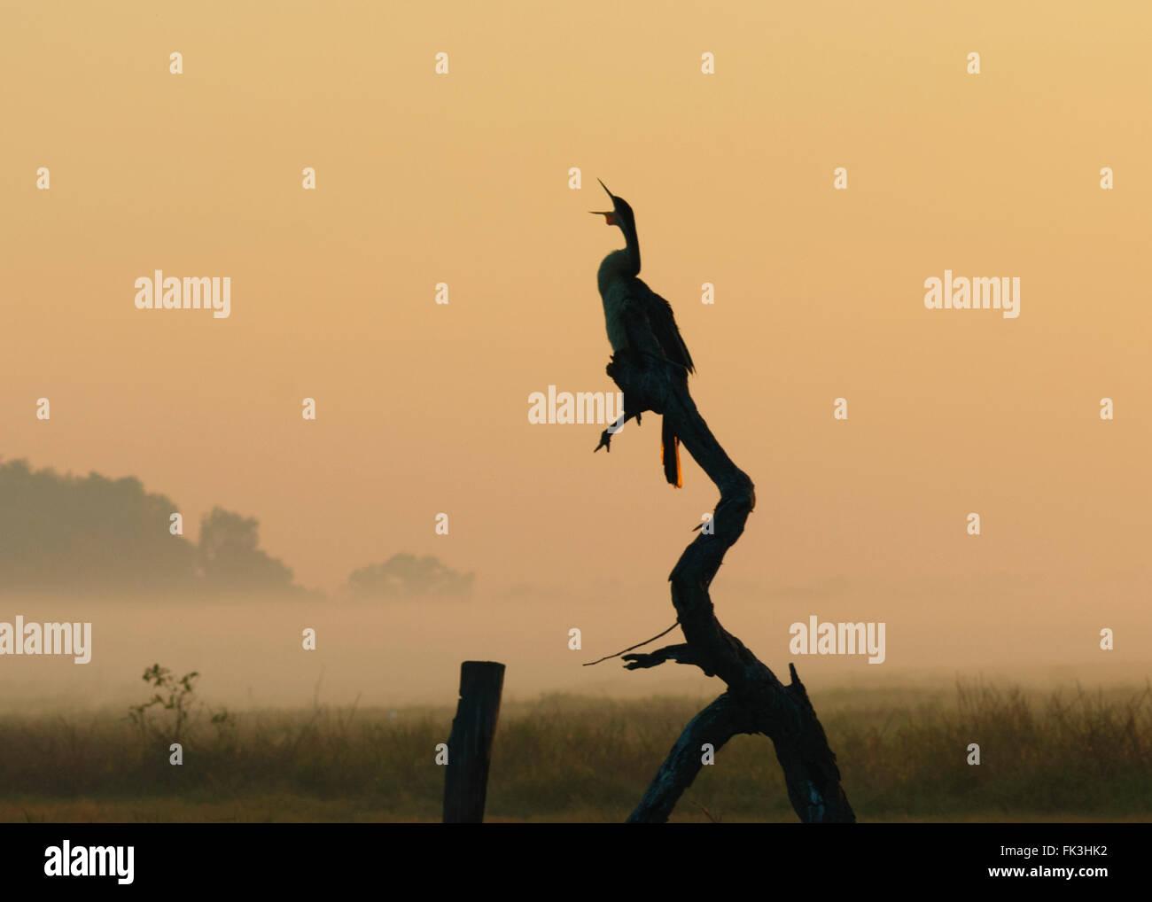Silhouetted Darter (Anhinga melanogaster), Yellow Water Billabong, Kakadu National Park, Northern Territory, NT, - Stock Image