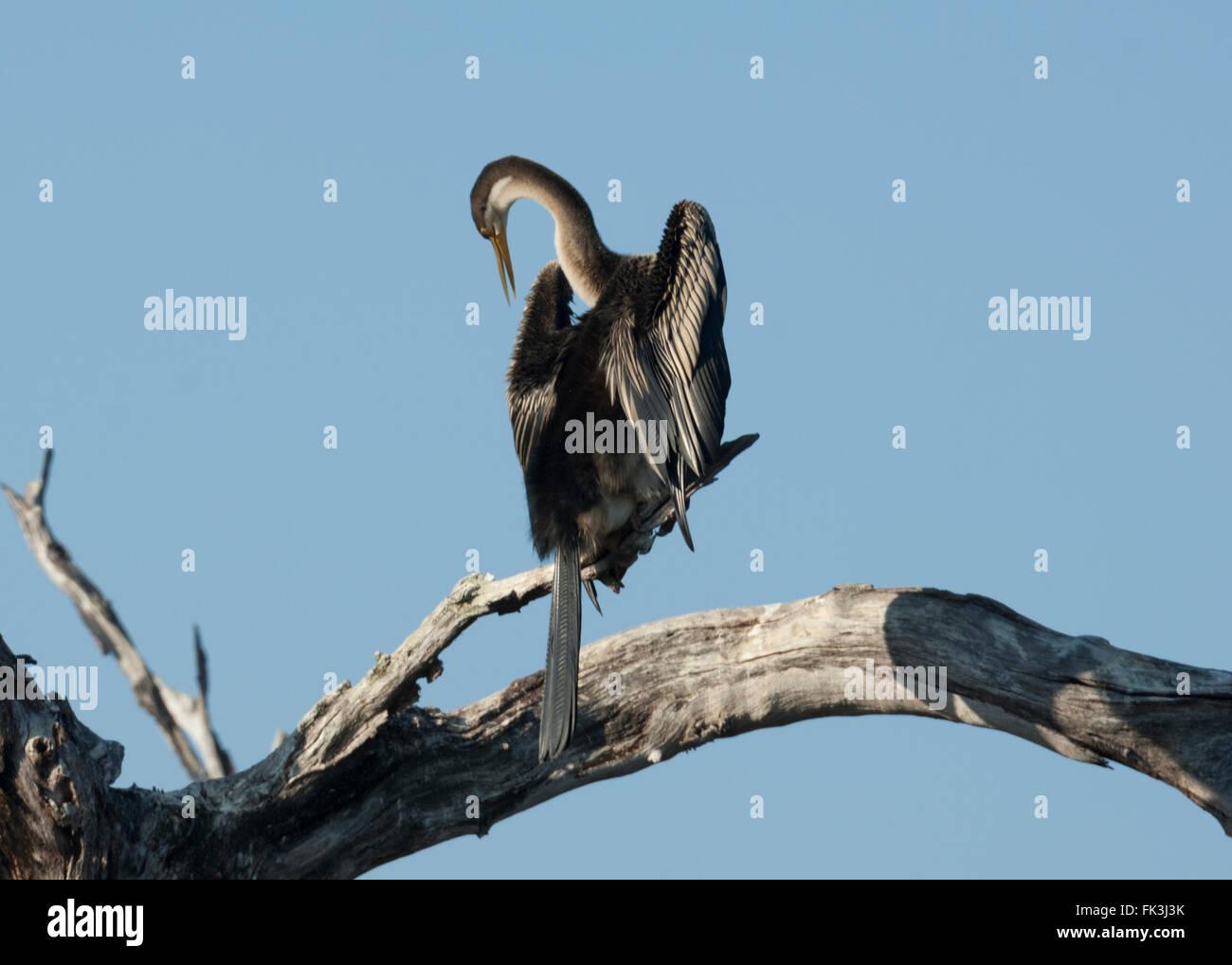 Darter (Anhinga melanogaster), Yellow Water Billabong, Kakadu National Park, Northern Territory, NT, Australia - Stock Image
