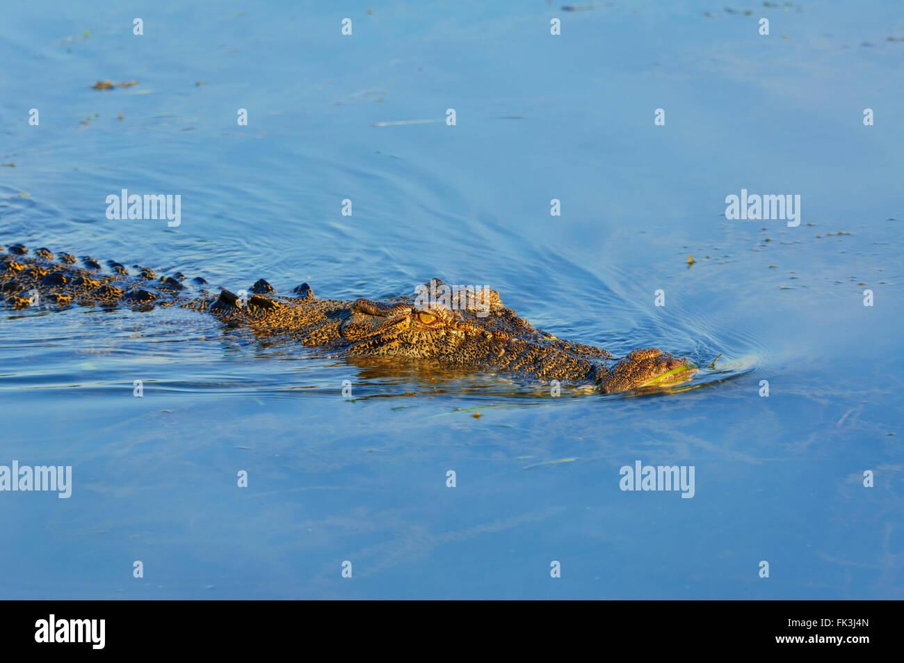 Saltwater Crocodile (Crocodylus porosus), Yellow Water Billabong, Kakadu National Park, Northern Territory, NT, - Stock Image