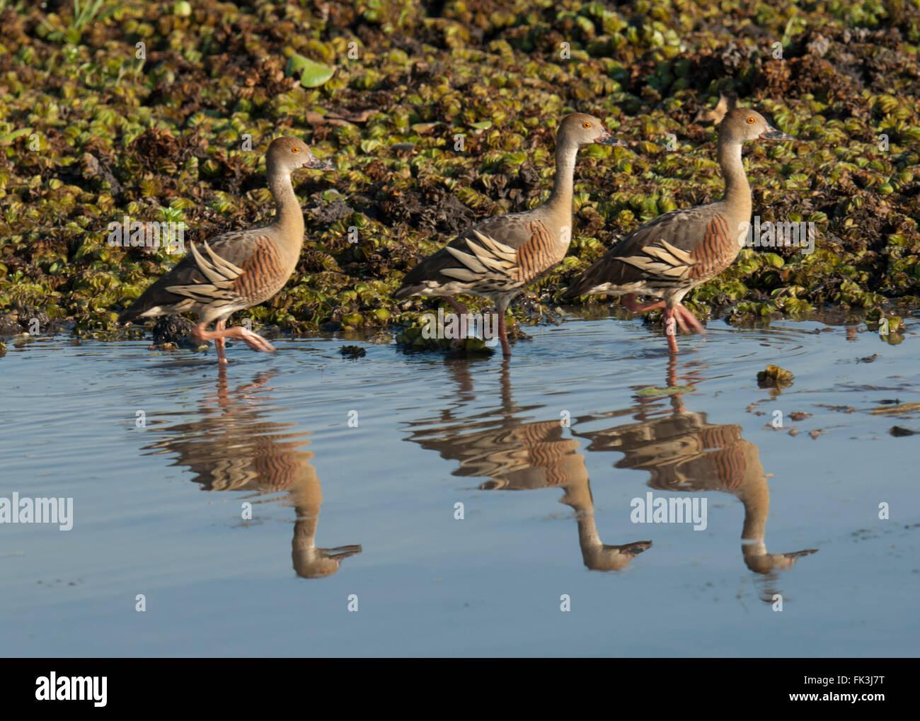 Plumed Whistling-duck (Dendrocygna eytoni), Yellow Water Billabong, Kakadu National Park, Northern Territory, NT, Stock Photo